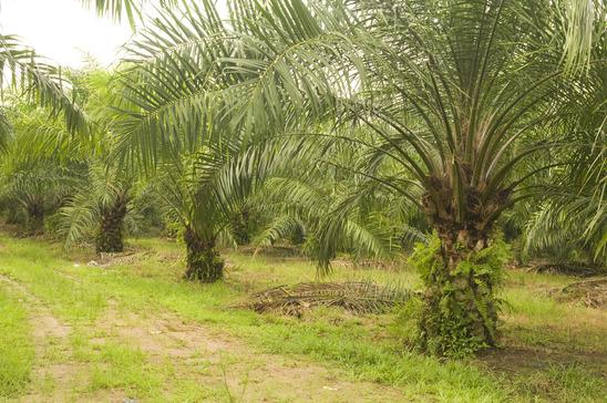 Palmöl Plantage - Monokultur